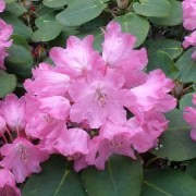 (25/05/2017) Rhododendron orbiculare added by Shoot)