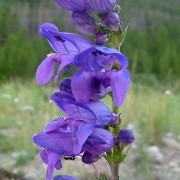 (27/05/2017) Penstemon strictus added by Shoot)
