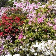 (01/06/2017) Rhododendron Obtusum Group added by Shoot)