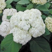 (03/06/2017) Hydrangea arborescens 'Bounty' added by Shoot)