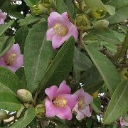 (06/06/2017) Lagunaria patersonii added by Shoot)