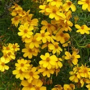 (13/06/2017) Tagetes lemmonii added by Shoot)