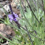 (15/06/2017) Lavandula minutolii added by Shoot)