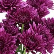 (15/06/2017) Chrysanthemum 'Pompon Purple' added by Shoot)