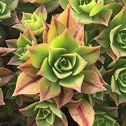 (16/06/2017) Aeonium leuconeura added by Shoot)