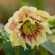 Helleborus x hybridus Harvington double yellow speckled