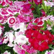(05/07/2017) Dianthus barbatus Wee Willie Mix added by Shoot)
