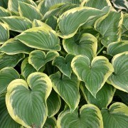 (09/07/2017) Hosta 'Victory' added by Shoot)