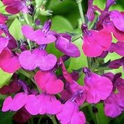 (09/07/2017) Salvia 'Cherry Pie' added by Shoot)