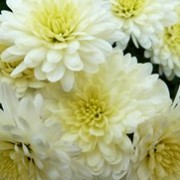 (09/07/2017) Chrysanthemum 'Angela Blundell' added by Shoot)