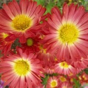 (09/07/2017) Chrysanthemum 'Herbstfeuer' added by Shoot)