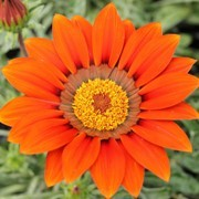 (11/07/2017) Gazania 'Katua' (Sunbathers Series) added by Shoot)