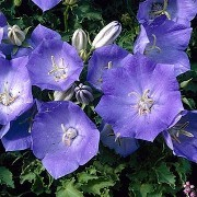 (12/07/2017) Campanula carpatica 'Rapido Blue' added by Shoot)