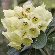(12/07/2017) Rhododendron sinofalconeri added by Shoot)