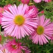 (13/07/2017) Aster novae-angliae 'Rosa Sieger' added by Shoot)