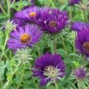 (15/07/2017) Aster novae-angliae 'Marina Wolkonsky' added by Shoot)