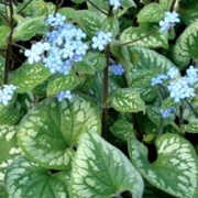 (17/07/2017) Brunnera macrophylla 'Emerald Mist' added by Shoot)