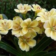 (17/07/2017) Lewisia Ashwood Carousel hybrids yellow shades added by Shoot)