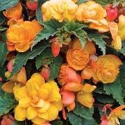 (21/07/2017) Begonia Fragrant Falls Improved Series added by Shoot)