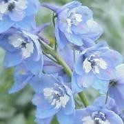 (21/07/2017) Delphinium 'Magic Fountains Sky Blue/White Bee' (Magic Fountains Series) added by Shoot)