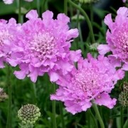 (27/07/2017) Scabiosa columbaria 'Flutter Rose Pink' (Flutter Series) added by Shoot)