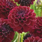 (25/08/2017) Dahlia 'Gipsy Night' added by Shoot)