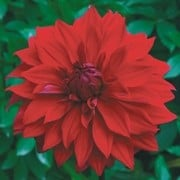 (25/08/2017) Dahlia 'Babylon Red' added by Shoot)