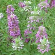 (26/08/2017) Monarda citriodora added by Shoot)