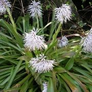 (28/08/2017) Ypsilandra thibetica added by Shoot)