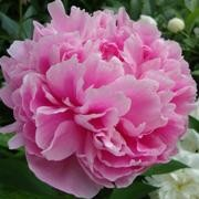 (02/09/2017) Paeonia lactiflora 'The Fawn' added by Shoot)