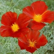 (06/09/2017) Eschscholzia californica 'Red Chief' added by Shoot)