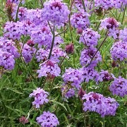 (06/09/2017) Verbena rigida f. lilacina 'De La Mina' added by Shoot)