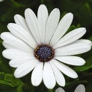 (10/09/2017) Osteospermum 'Serenity White' (Serenity Series) added by Shoot)