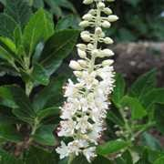 (10/09/2017) Clethra alnifolia 'Sixteen Candles' added by Shoot)