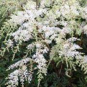 (10/09/2017) Astilbe simplicifolia 'White Sensation'  added by Shoot)