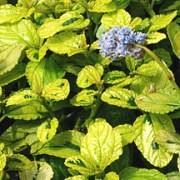(18/09/2017) Ceanothus griseus var. horizontalis 'Diamond Heights' added by Shoot)