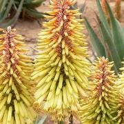 (21/09/2017) Aloe 'Moonglow' added by Shoot)