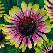 (25/09/2017) Echinacea 'Green Twister' added by Shoot)