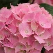 (27/09/2017) Hydrangea macrophylla 'Magical Crystal' (Magical Series) added by Shoot)