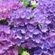 (27/09/2017) Hydrangea macrophylla 'Colorado' (River-line Series) added by Shoot)