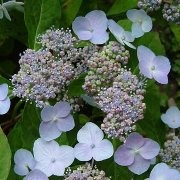 (28/09/2017) Hydrangea serrata 'Miranda' added by Shoot)