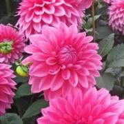 (28/09/2017) Dahlia 'Bargaly Blush' added by Shoot)