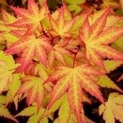 (02/10/2017) Acer palmatum 'Akane' added by Shoot)