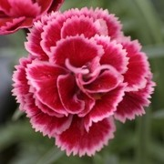(03/10/2017) Dianthus 'Diantica Burgundy' added by Shoot)