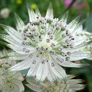 (10/10/2017) Astrantia major subsp. involucrata 'Jumble Hole' added by Shoot)