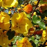 (11/10/2017) Fremontodendron 'Pacific Sunset' added by Shoot)