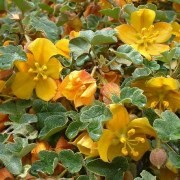 (11/10/2017) Fremontodendron 'El Dorado Gold' added by Shoot)