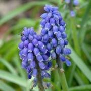(17/10/2017) Muscari armeniacum 'Christmas Pearl'  added by Shoot)