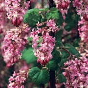(18/10/2017) Ribes sanguineum var. glutinosum 'Spring Showers' added by Shoot)
