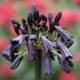 Agapanthus inapertus subsp. pendulus 'Black Magic'